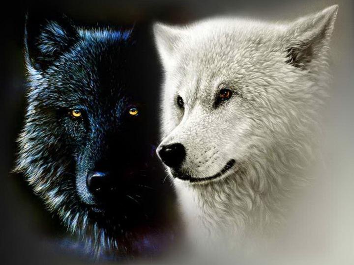 Due lupi